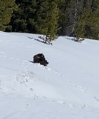 #10Life: Togwotee Pass bear captured on video